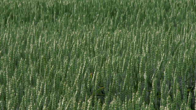 cereal crop field in south west scotland - johnfscott stock videos & royalty-free footage