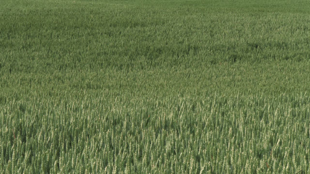 cereal crop field in south west scotland - galloway scotland stock videos & royalty-free footage