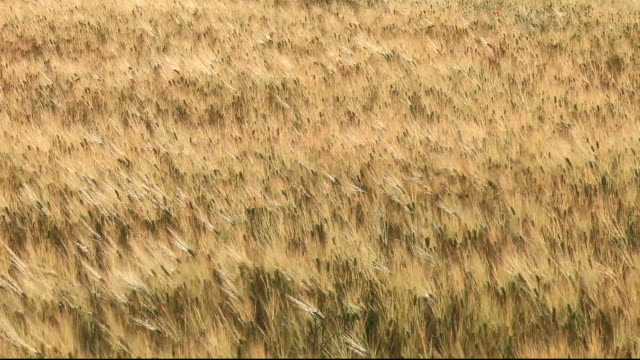 cereal crops blowing in the wind near guadix, andalucia, spain. - orzo video stock e b–roll