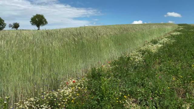 getreidefeld im frühling - wildblume stock-videos und b-roll-filmmaterial