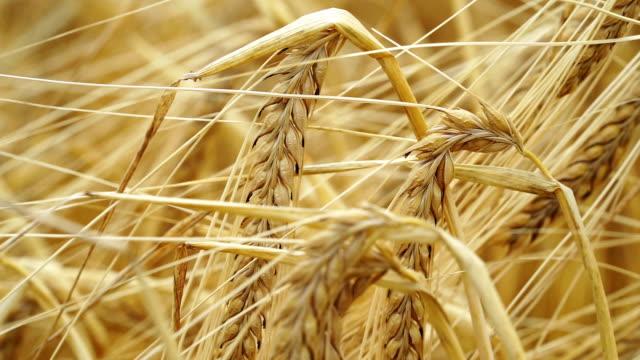getreide in nahaufnahme - cereal plant stock-videos und b-roll-filmmaterial