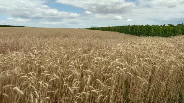 getreide-pflanzenfeld - cereal plant stock-videos und b-roll-filmmaterial