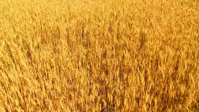 HD CRANE: Cereal plant