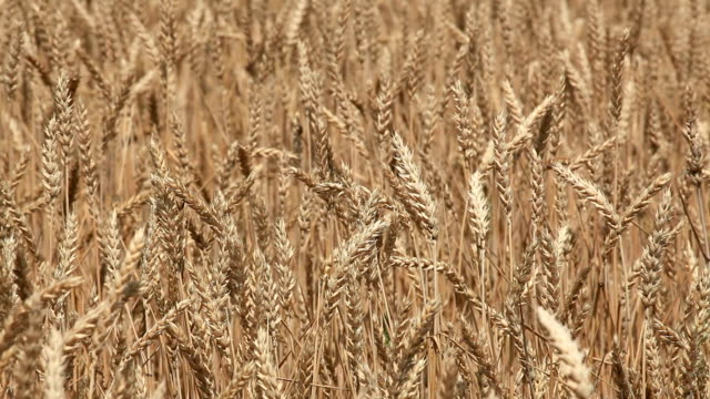 getreide - cereal plant stock-videos und b-roll-filmmaterial