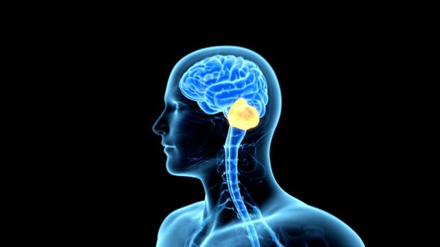cerebellum of the brain - biomedizinische illustration stock-videos und b-roll-filmmaterial
