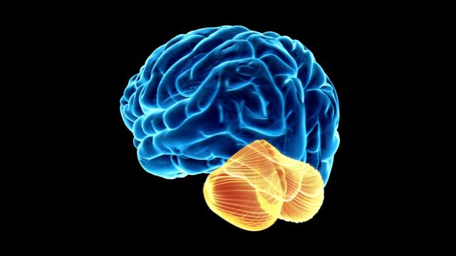 cerebellum of the brain - cerebellum stock videos & royalty-free footage
