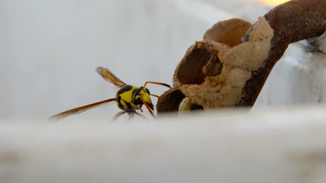 Ceriana wasp, Wasp-mimic Hoverfly (Hymenoptera Ceriana sp)