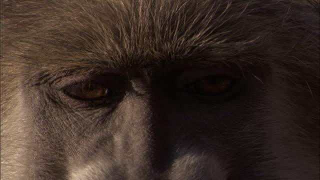 Chacma baboon closes its eyes, Okavango Delta, Botswana