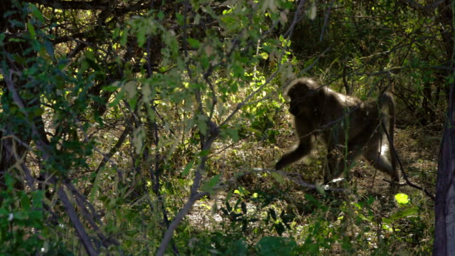 chacma baboon etosha national park - baboon videos stock videos & royalty-free footage