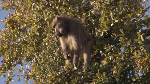 chacma baboon feeds in tree, okavango delta, botswana - futter suchen stock-videos und b-roll-filmmaterial
