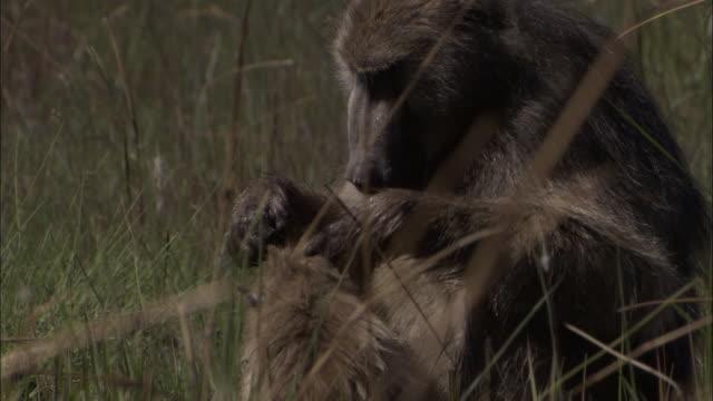 vídeos y material grabado en eventos de stock de chacma baboon grooms baby in swamp, okavango delta, botswana - acicalarse