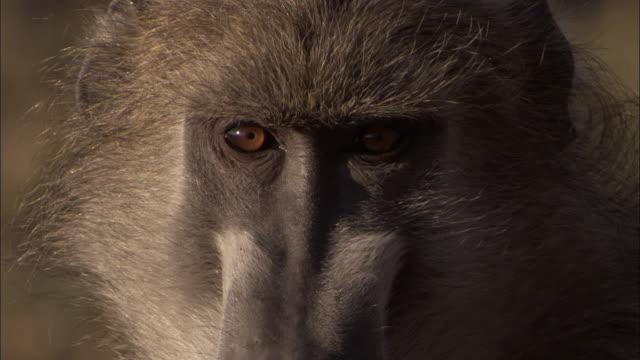 chacma baboon looks around, okavango delta, botswana - djurhuvud bildbanksvideor och videomaterial från bakom kulisserna