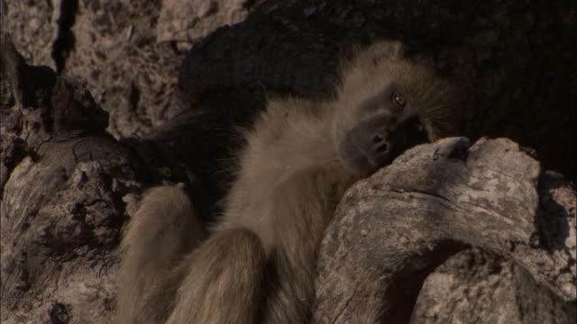 chacma baboon reclines and rests on tree trunk, okavango delta, botswana - zurücklehnen stock-videos und b-roll-filmmaterial