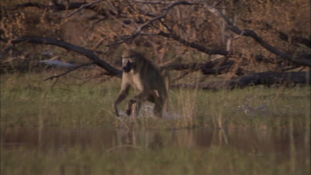 chacma baboon runs through swamp, okavango delta, botswana - walking in water stock videos & royalty-free footage