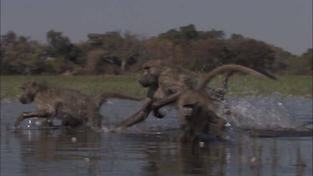 chacma baboon runs through swamp, okavango delta, botswana - primate stock videos and b-roll footage