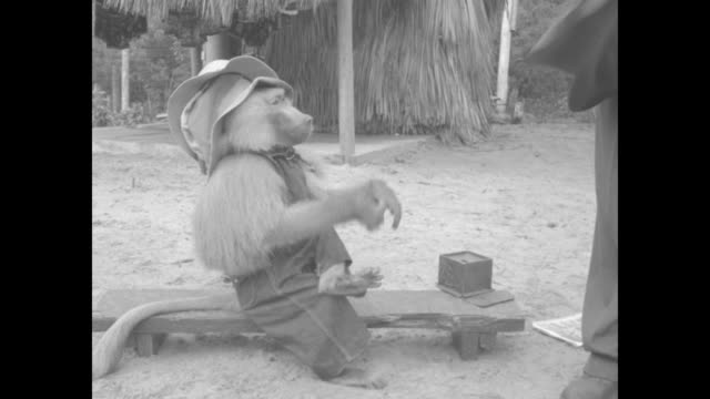 vídeos de stock e filmes b-roll de chacma baboon sits on small platform, wearing overalls and a stack of hats / vs baboon takes off one hat at a time, hands each hat to a... - cross legged