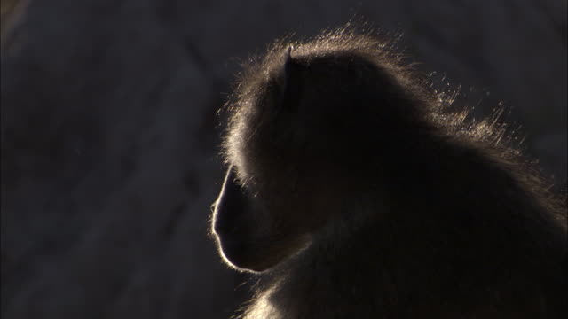 chacma baboon stands up and walks away, okavango delta, botswana - side lit stock videos & royalty-free footage