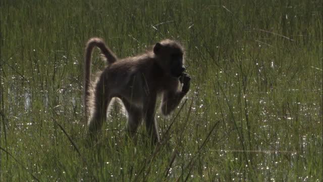 chacma baboon wades and feeds in swamp, okavango delta, botswana - 一匹点の映像素材/bロール