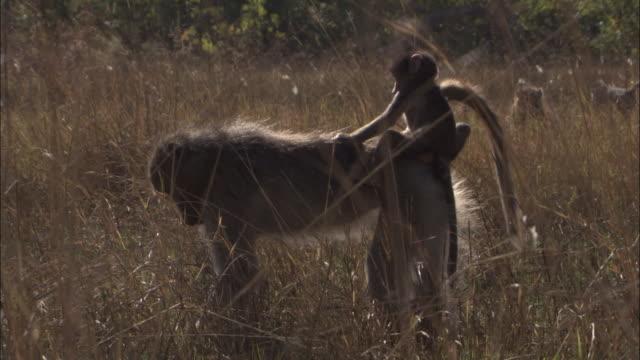 chacma baboon wades and feeds in swamp, okavango delta, botswana - futter suchen stock-videos und b-roll-filmmaterial