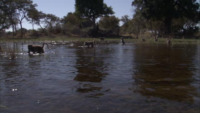 vídeos y material grabado en eventos de stock de chacma baboon wades on hind legs through swamp, okavango delta, botswana - grupo mediano de animales