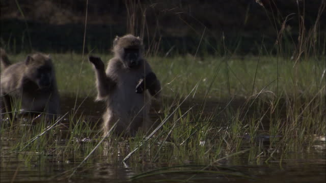 chacma baboon wades on hind legs through swamp, okavango delta, botswana - camminare nell'acqua video stock e b–roll