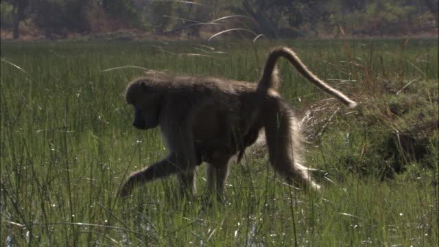 vídeos y material grabado en eventos de stock de chacma baboon with baby wades and feeds in swamp, okavango delta, botswana - grupo pequeño de animales
