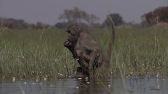 chacma baboon with baby wades in swamp, okavango delta, botswana - small group of animals stock videos & royalty-free footage