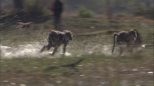 chacma baboons chase through swamp, okavango delta, botswana - rincorrere video stock e b–roll