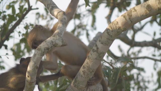 ms chacma baboons (papio ursinus) climbing tree / kruger national park/ mpumalanga/ south africa - krüger nationalpark stock-videos und b-roll-filmmaterial