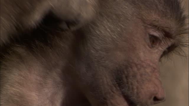 vídeos y material grabado en eventos de stock de chacma baboons groom baby, okavango delta, botswana - acicalarse