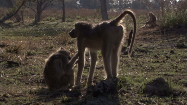 vídeos y material grabado en eventos de stock de chacma baboons groom, okavango delta, botswana - grupo pequeño de animales