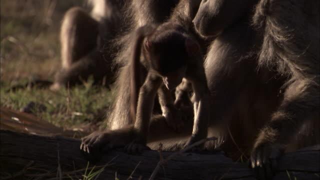 chacma baboons groom, okavango delta, botswana - medium group of animals stock videos & royalty-free footage