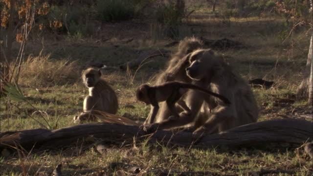 chacma baboons groom, okavango delta, botswana - small group of animals stock videos & royalty-free footage