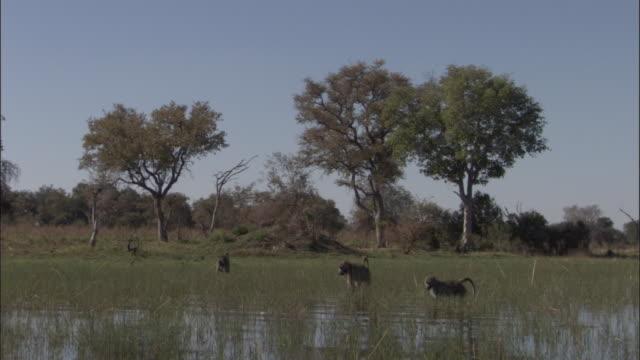 vídeos y material grabado en eventos de stock de chacma baboons wade and feed in swamp, okavango delta, botswana - grupo pequeño de animales