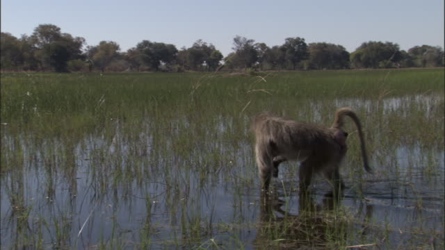 chacma baboons wade and hunt for snails in swamp, okavango delta, botswana - futter suchen stock-videos und b-roll-filmmaterial