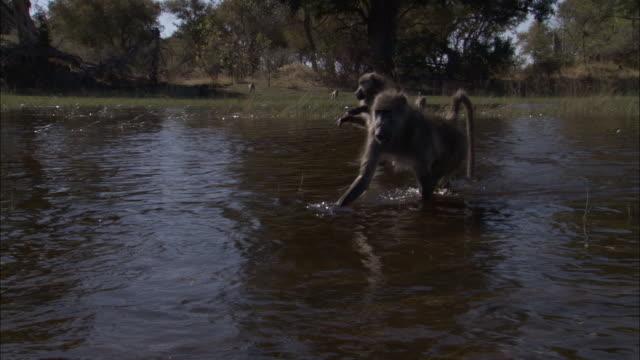 chacma baboons wade through swamp, okavango delta, botswana - medium group of animals stock videos & royalty-free footage