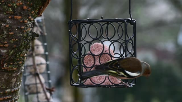 chaffinch and siskin on a block feeder - formal garden stock videos & royalty-free footage