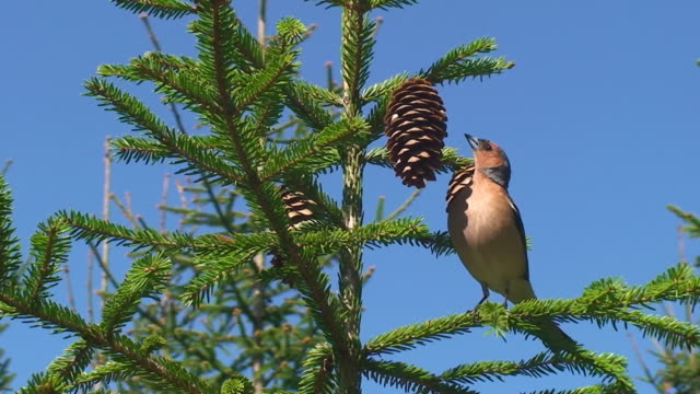 chaffinch feeding on cone seeds - pinecone stock videos & royalty-free footage