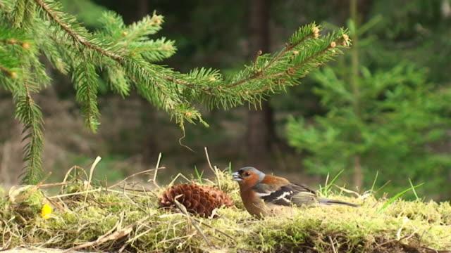 Chaffinch Feeding under the Spruce Tree