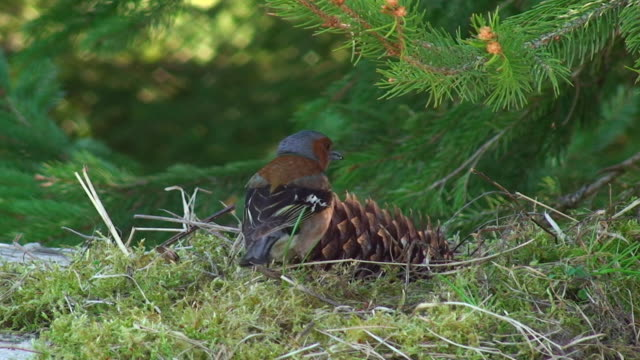 chaffinch with cone - pinecone stock videos & royalty-free footage