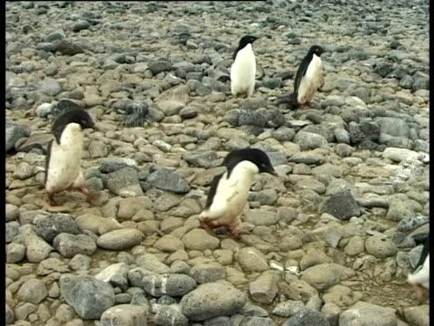 Chain of Adelidae Penguins (Pygoscelis adeliae) walking over rocks, Paulet Island, Antarctic Peninsula, Antarctica