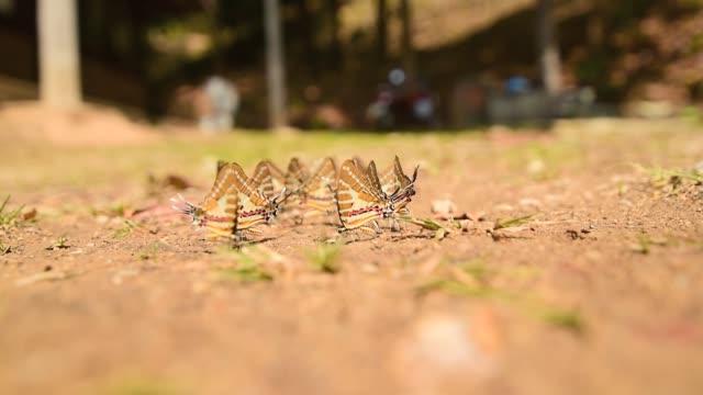 Chain Swordtail Butterfly