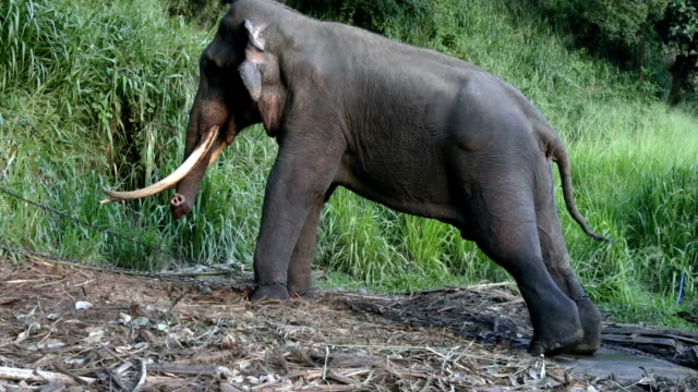 chained stressed male elephant - forbidden stock videos & royalty-free footage
