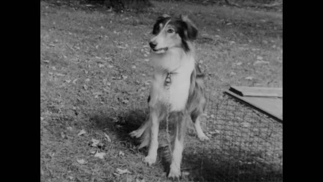 1960 Chained up collie barks and gets excited