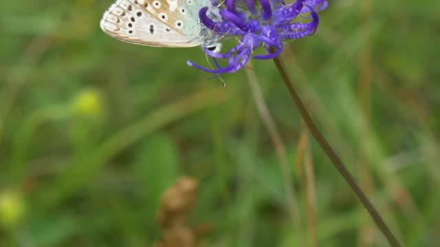 chalkhill blue butterfly (polyommatus coridon) on round-headed rampion (phyteuma orbiculare) - サウスダウンズ点の映像素材/bロール