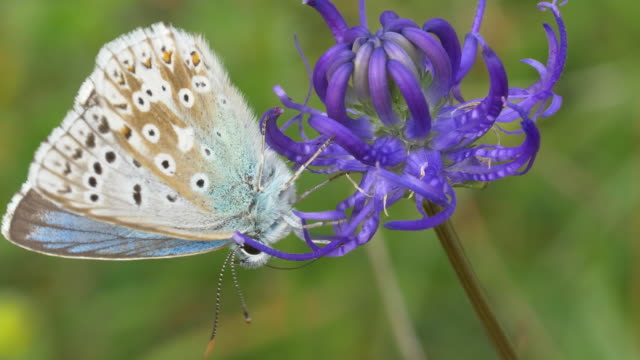 chalkhill blue butterfly (polyommatus coridon) taking off from round-headed rampion (phyteuma orbiculare) - サウスダウンズ点の映像素材/bロール