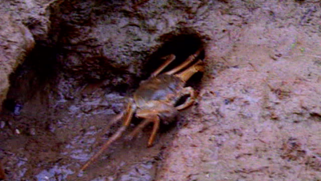challenge of tackling chinese mitten crabs in river thames crabs on shore - mitten stock videos and b-roll footage