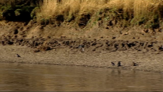 challenge of tackling chinese mitten crabs in river thames date ext river bank - mitten stock videos and b-roll footage