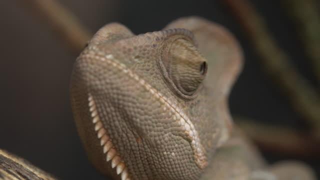 vidéos et rushes de chamaeleo calypso tratus-caméléon voilé - caméléon