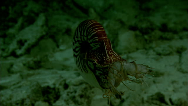 Chambered nautilus (Nautilus pompilius) carries dead shrimp on coral reef at night, New Caledonia